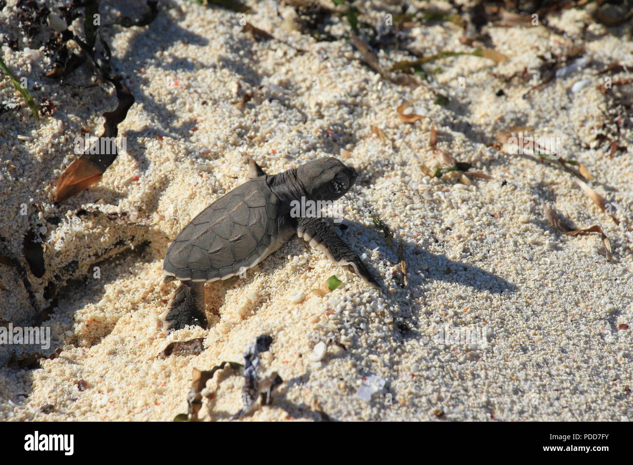 Baby Green turtles - Stock Image