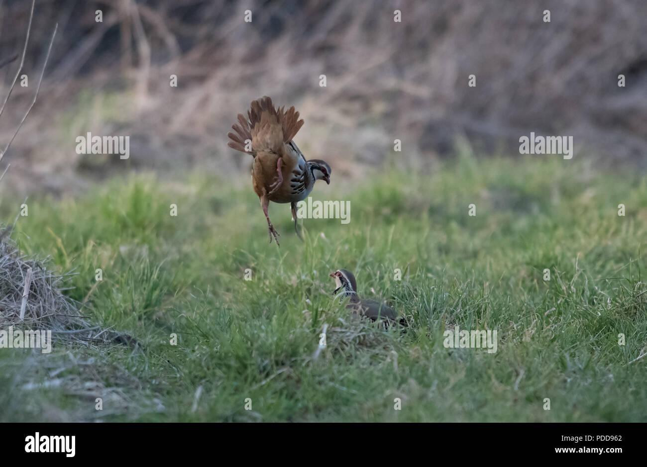 Red-legged partridges - Alectoris rufa. - Stock Image
