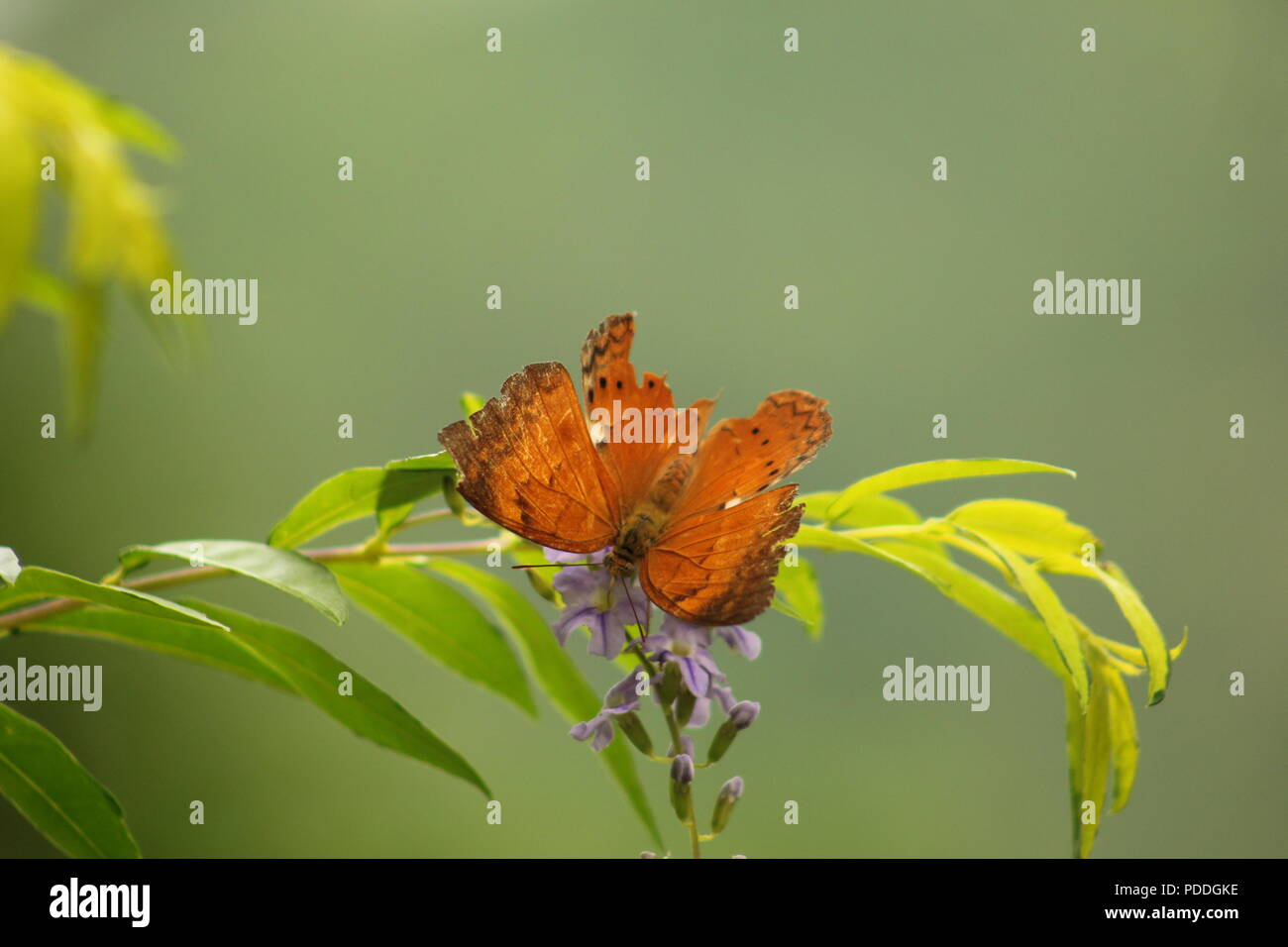 Butterflies are insects in the macrolepidopteran clade Rhopalocera from the order Lepidoptera, which also includes moths. - Stock Image