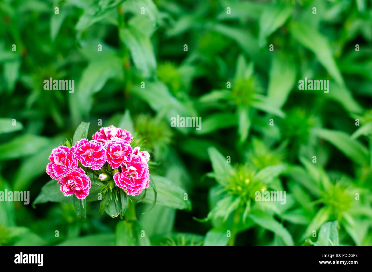 Cloves turkish dianthus barbatus garden plants flower perennial dianthus barbatus garden plants flower perennial close up horizontal photo natural wallpaper background for design place for t mightylinksfo