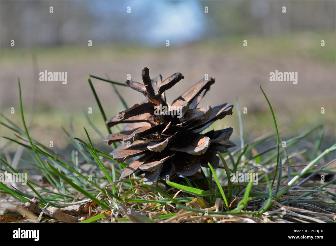conifer cone between grass on the ground in a German forest - Stock Image