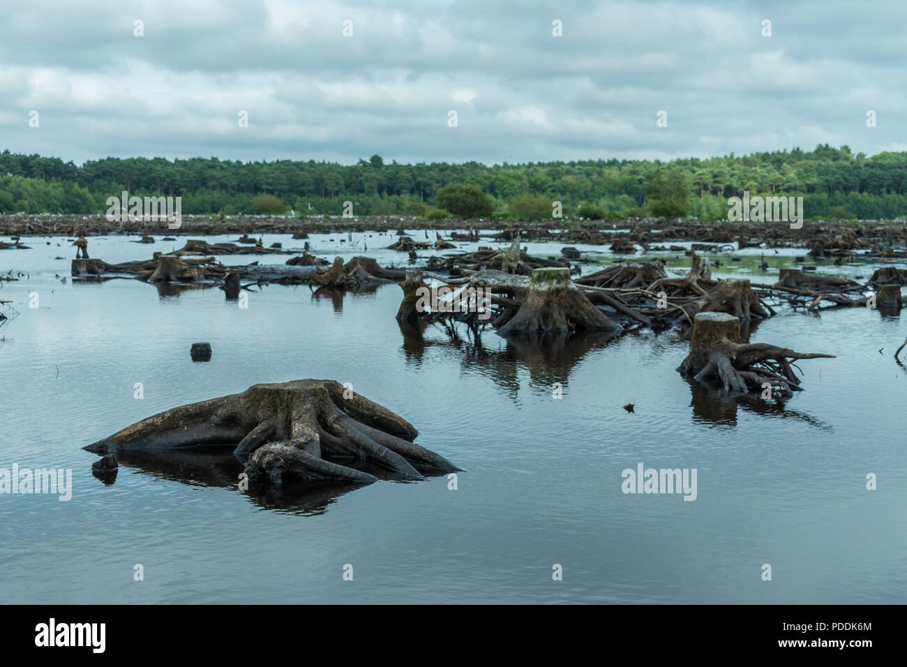 Blakemere Moss in Delamere Forest, Cheshire, UK. After a long spell of hot weather the water level is low, revealing hundreds of tree stumps. Stock Photo