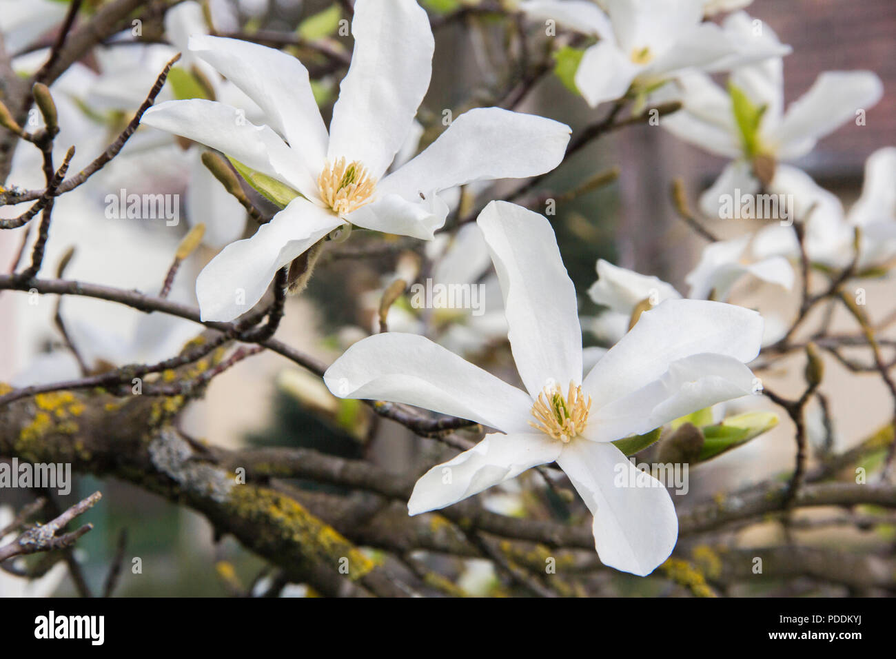 Pink or white flowers of blossoming magnolia tree (Magnolia stellata) in the springtime Stock Photo