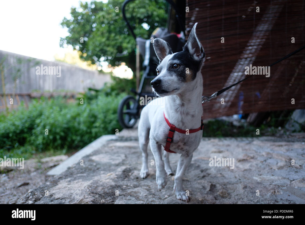 Attentive small white dog with ears perked up on a leash Stock Photo