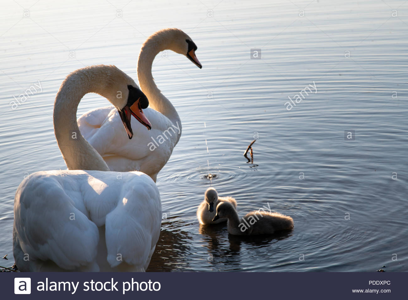 Swans and cygnets on a calm lake at sunset Stock Photo