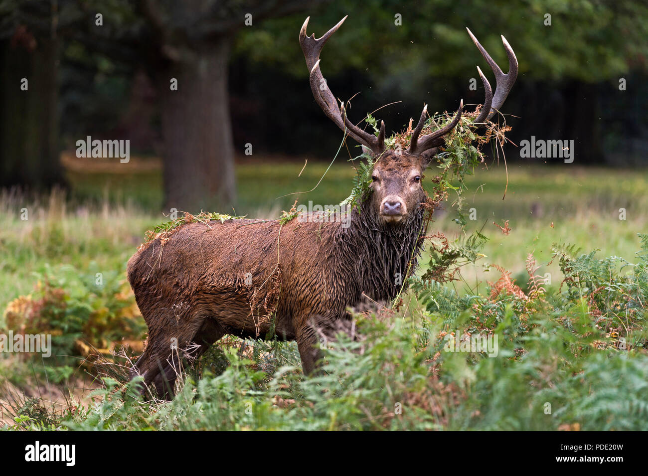 Red Deer Stag Richmond Park UK - Stock Image