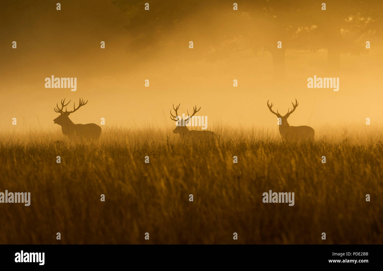 Three Red Deer Stags Richmond Park UK - Stock Image