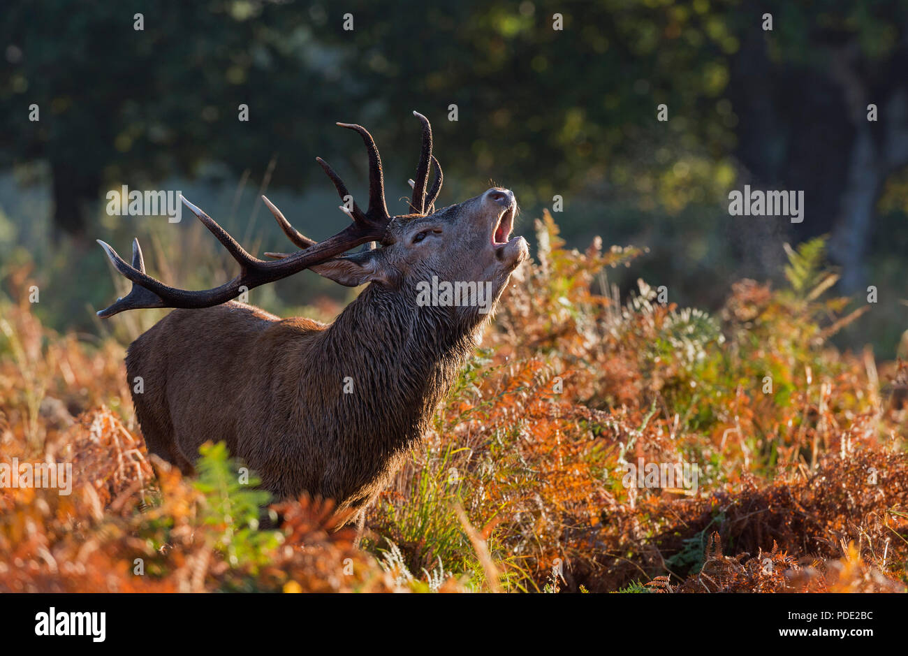 Red Deer Stag roaring Richmond Park UK - Stock Image