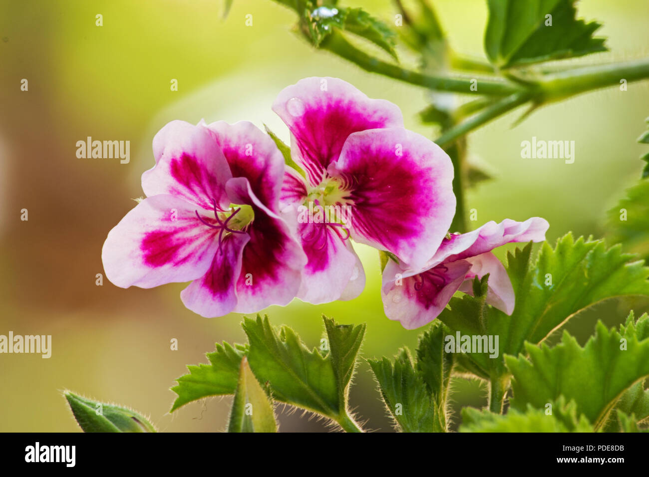 Pelargonium orsett plant and flower on natural background Stock Photo