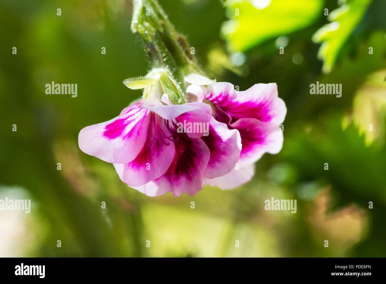 Pelargonium orsett plant and flower on natural background Stock Photo