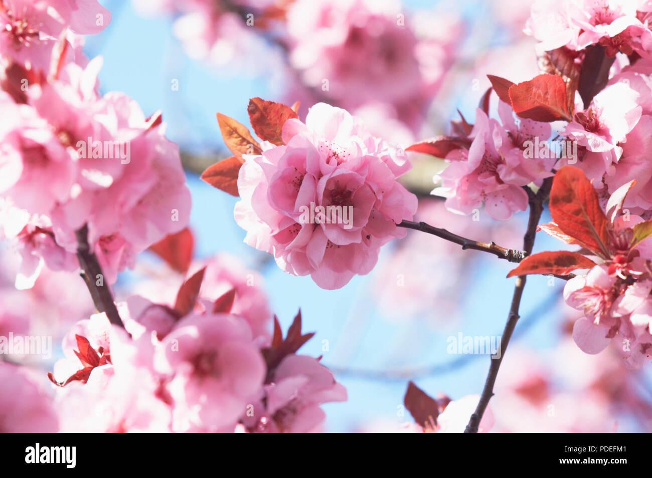Cherry blossom flowers. - Stock Image