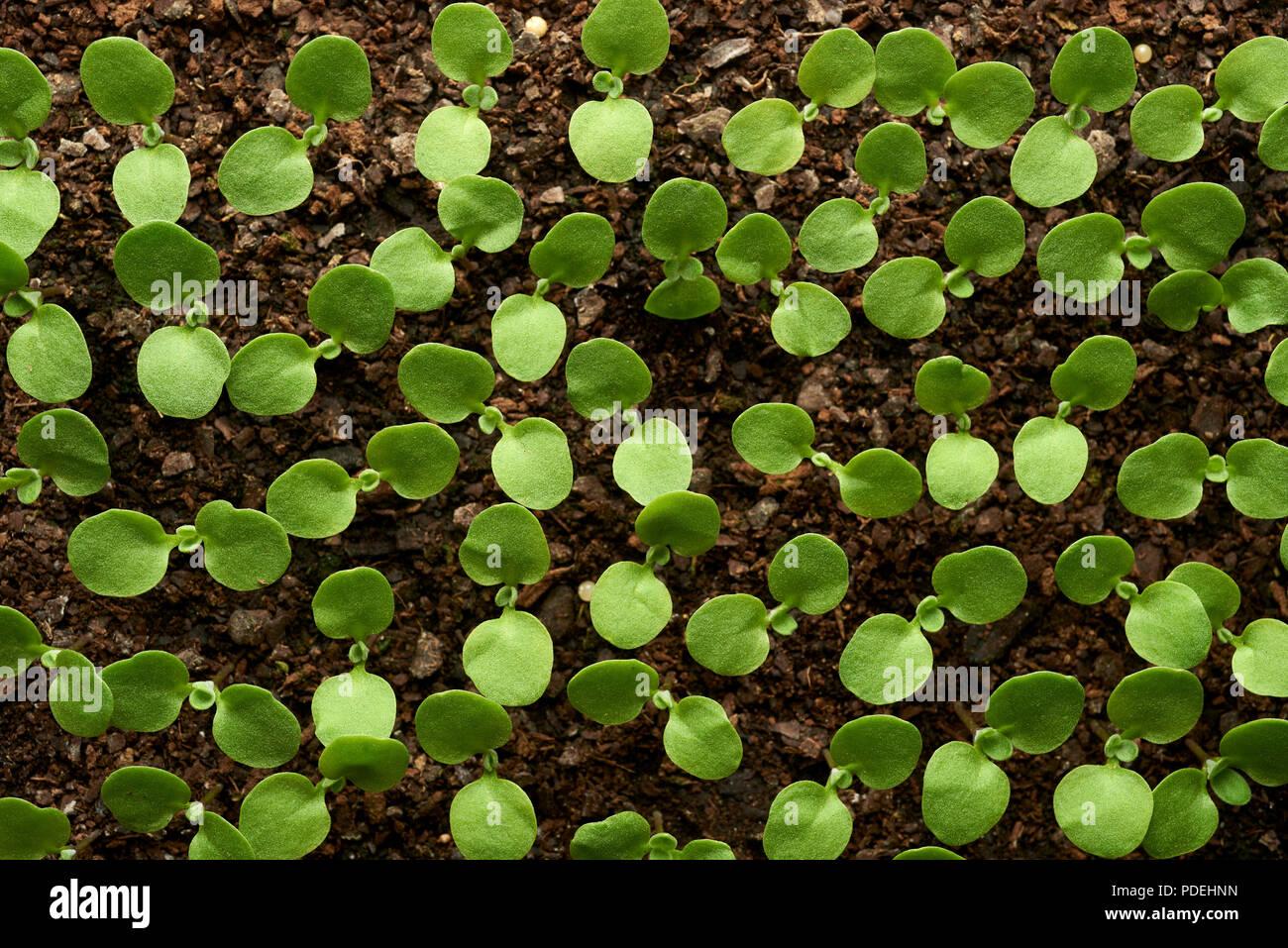 Greenhouse raised flower seedlings, Mildura, Victoria, Australia. - Stock Image
