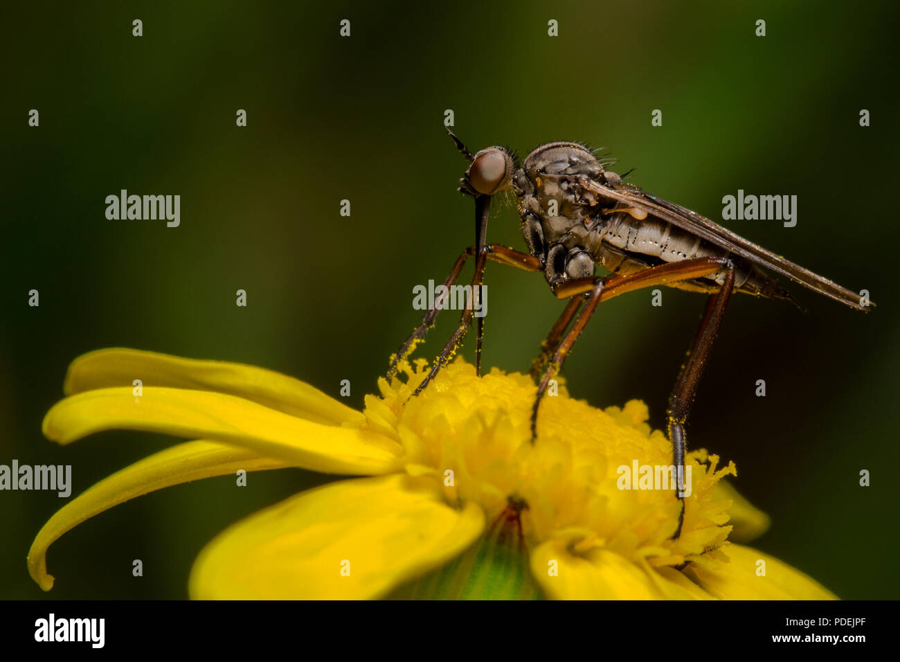Robber fly (Empis opaca) sitting on a Bitou flower, taken inside the Koeberg nature reserve. - Stock Image