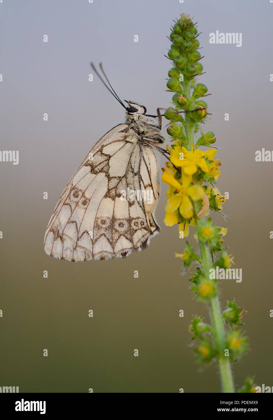 Roosting Marbled White Butterfly - Stock Image