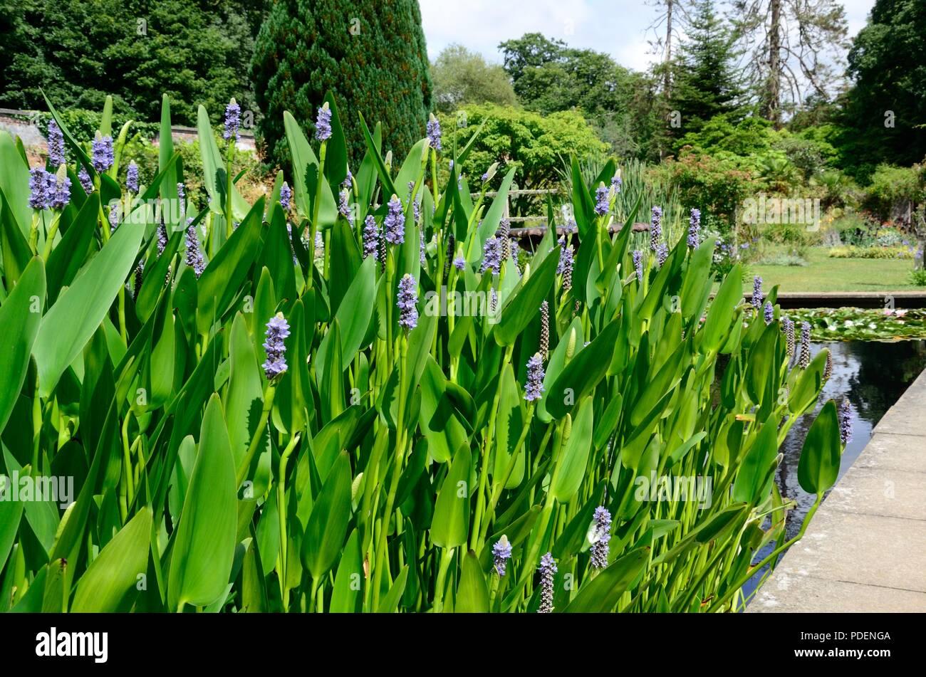 Blue Flower Spikes Of Pontederia Cordata Or Pickerel Weed Growing In A  Garden Pond