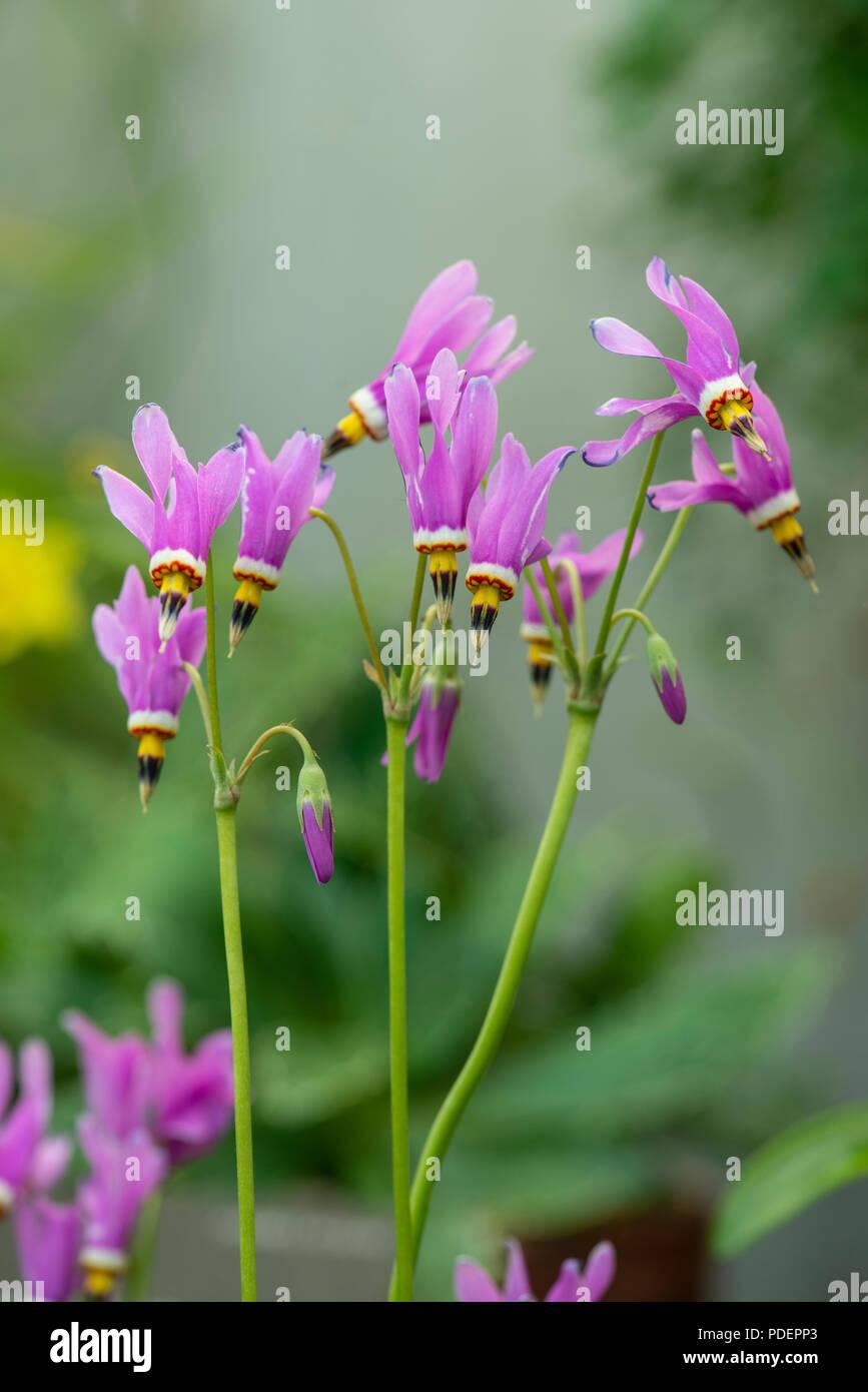 Shooting Star: Dodecatheon pauciflorum. Botranic garden, Surrey, UK. - Stock Image