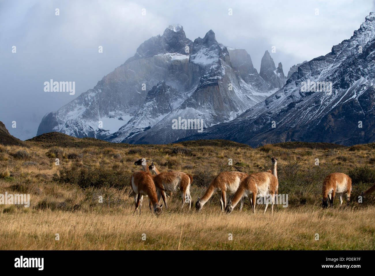 Small herd of Guanaco grazing on dry grass with some of the snow dusted peaks of the Torres del Paine range behind - Stock Image