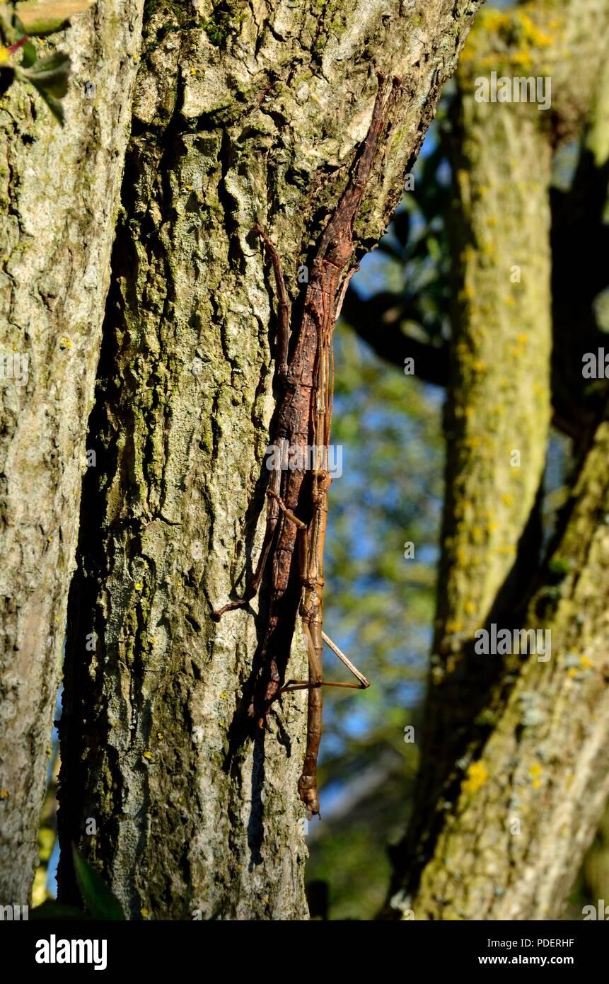 stick insects, walking sticks, Stabschrecken, Gespenstschrecken, Xenophasmina simile -Chiang Mai-, Phasmida - Stock Image