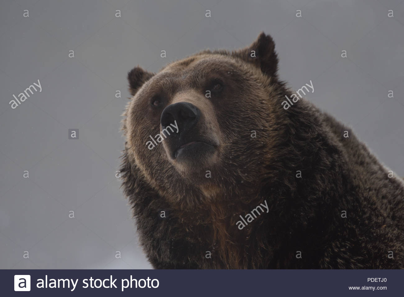 A portrait of an inquisitive Grizzly Bear - Stock Image
