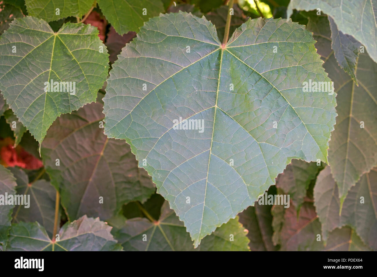 big green leaf front view for background Stock Photo