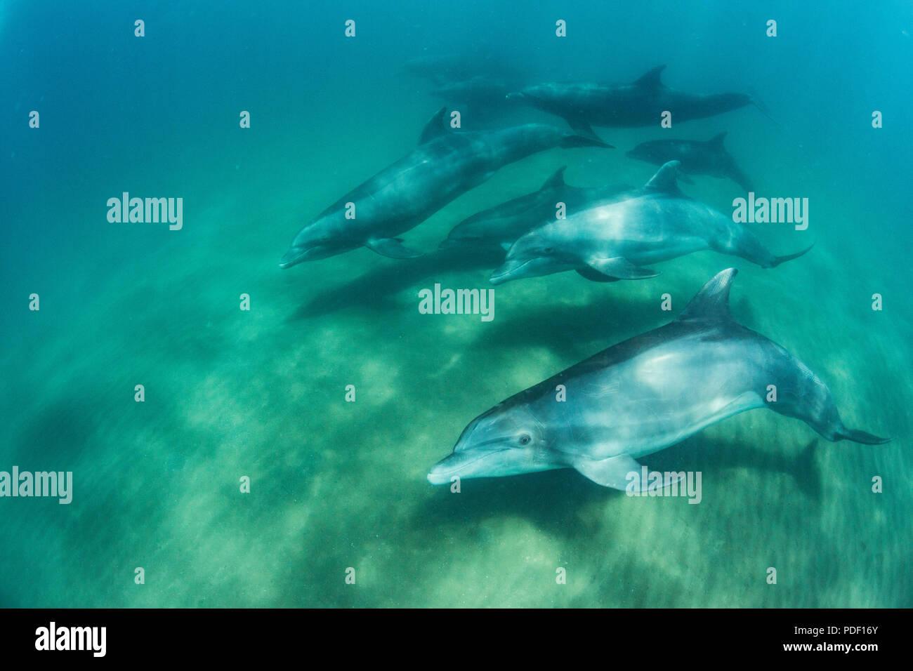 A pod of common bottlenose dolphins, Tursiops truncatus, underwater at El Mogote, Baja California Sur, Mexico. Stock Photo