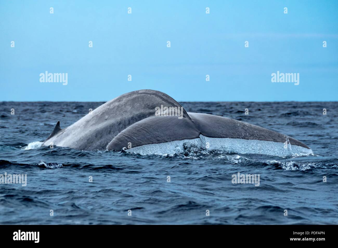 A huge blue whale showing its tail flukes as it dives - Stock Image