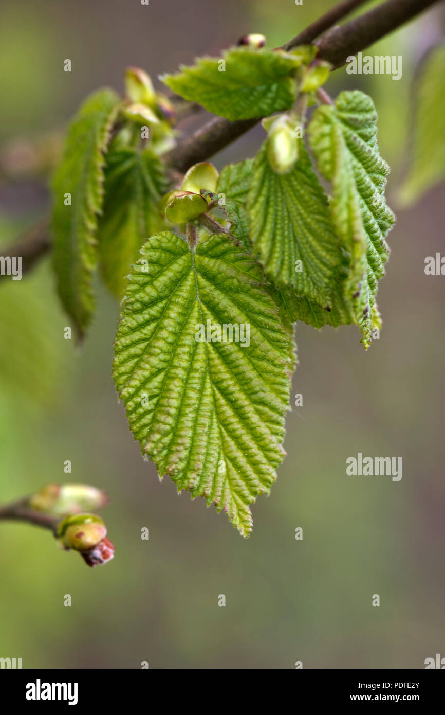 Wrinkled, expanding and unfolding young leaf of hazel, Corylus avellana, in springtime,. Berkshire, May - Stock Image