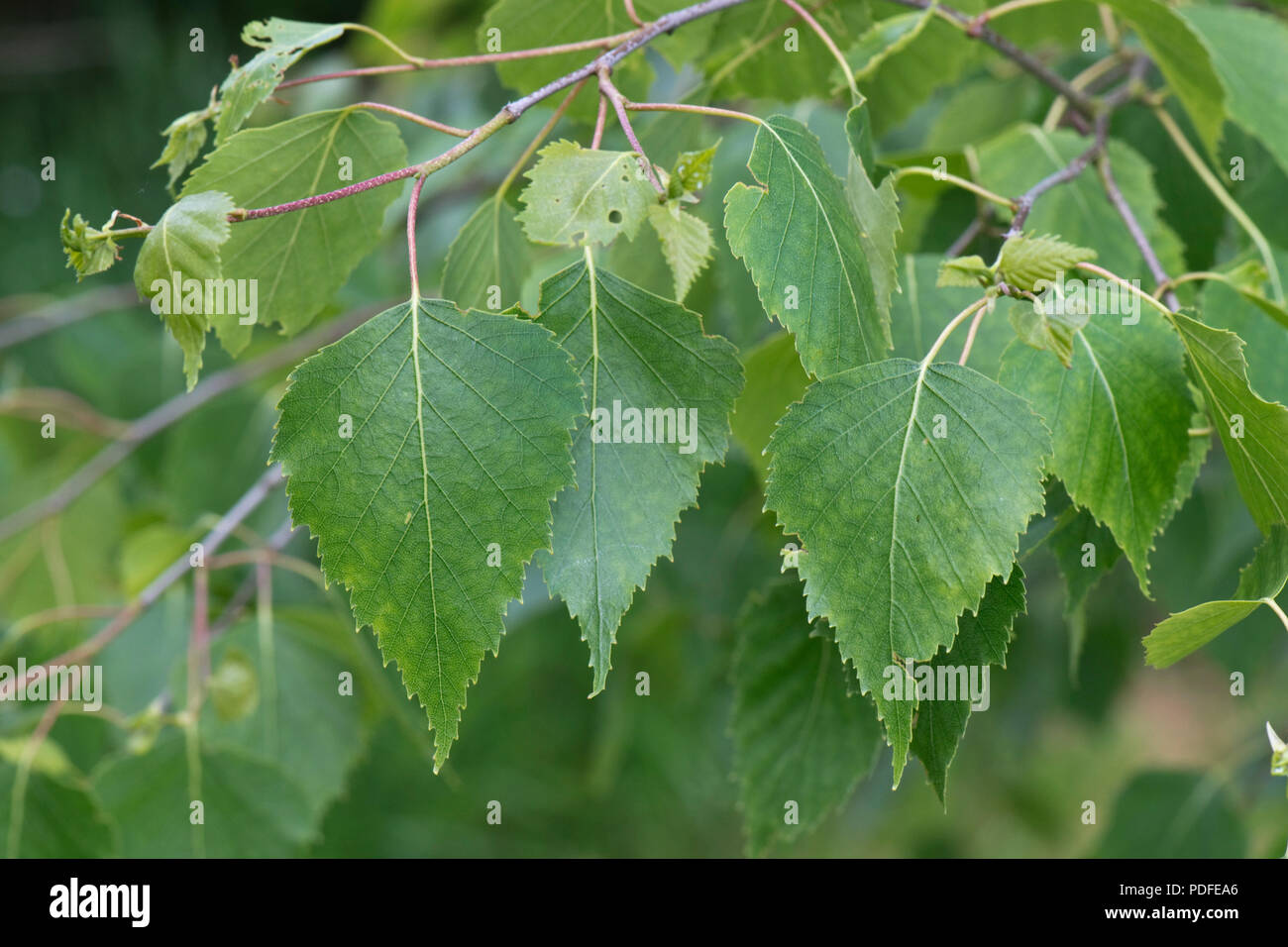 Young leaves of silver birch tree, Betula pendula, in spring, Berkshire, May - Stock Image