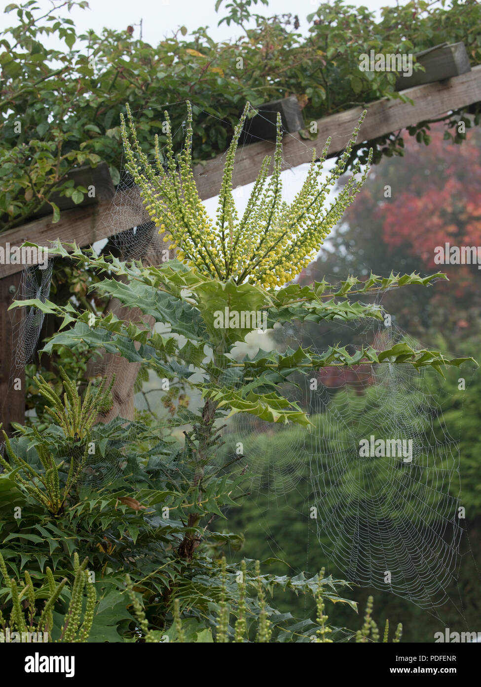 Bright yellow flowers on Mahonia x media 'Winter Sun' with spiders webs on a foggy autumn morning - Stock Image
