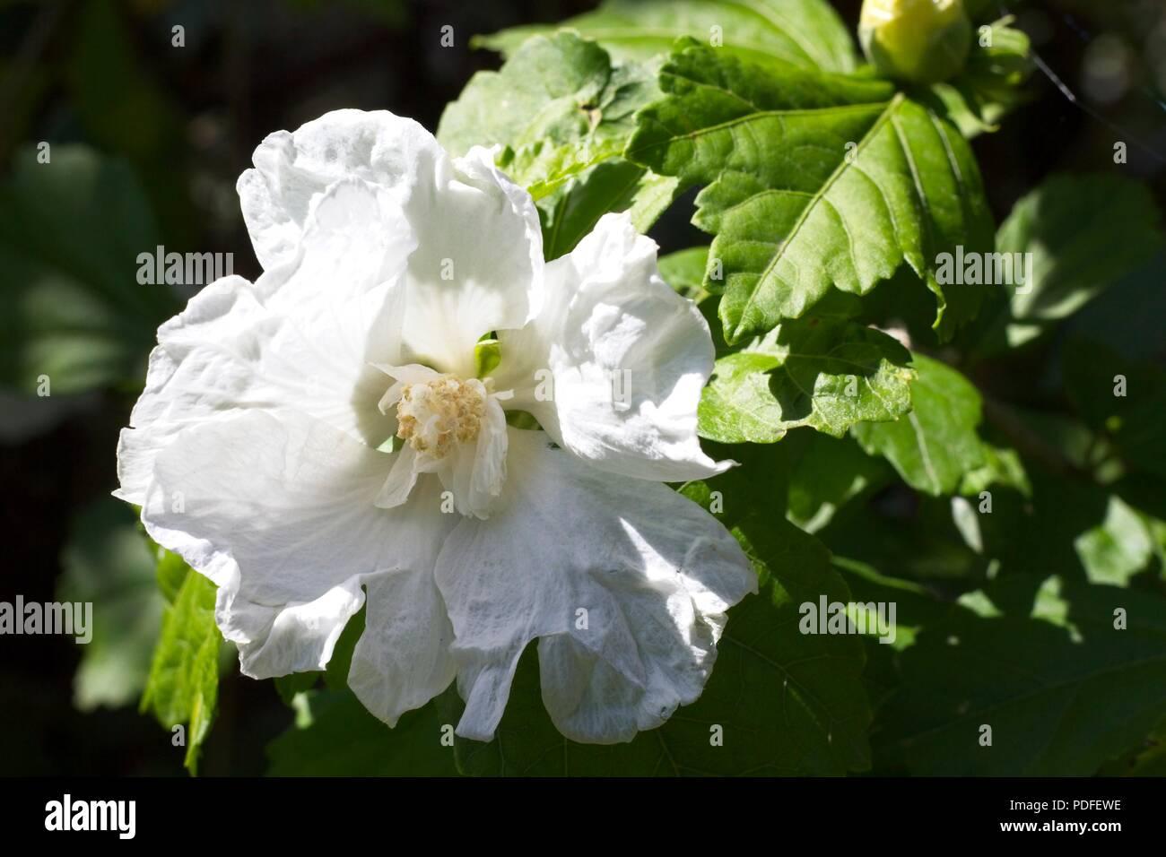 White hibiscus flowers Stock Photo: 214855914 - Alamy