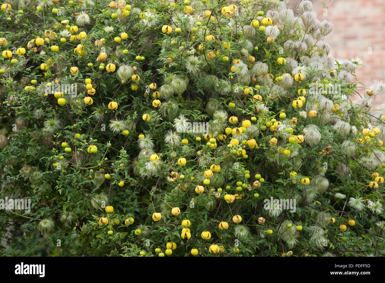 Golden clematis, Clematis tangutica, flowering and seeding over a garden gate and a conifer hedge, Berkshire, September - Stock Image