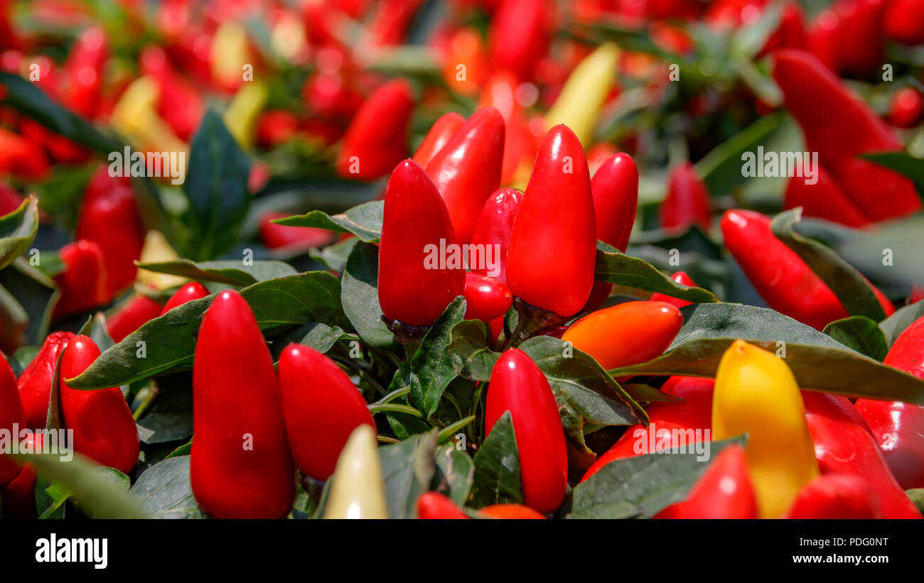 Ripe red and yellow bird's eye chili shrubs - Stock Image