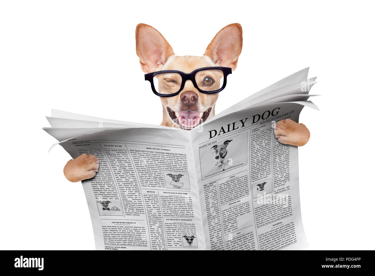 de10f13d7b cool funny chihuahua dog reading a blank empty newspaper or magazine  wearing reading glasses