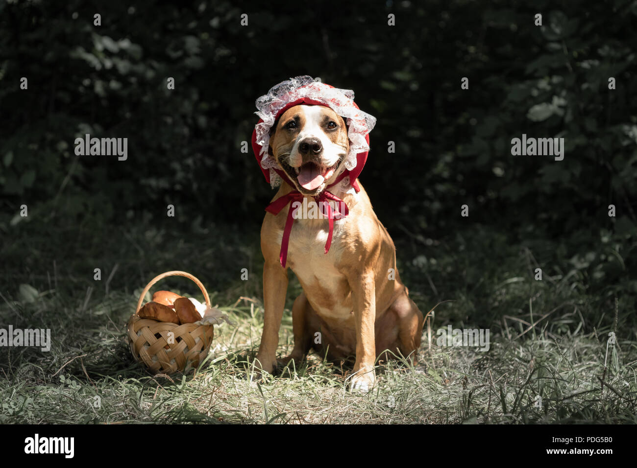 Dog in halloween fairy-tale costume of little red cap. Cute puppy poses in