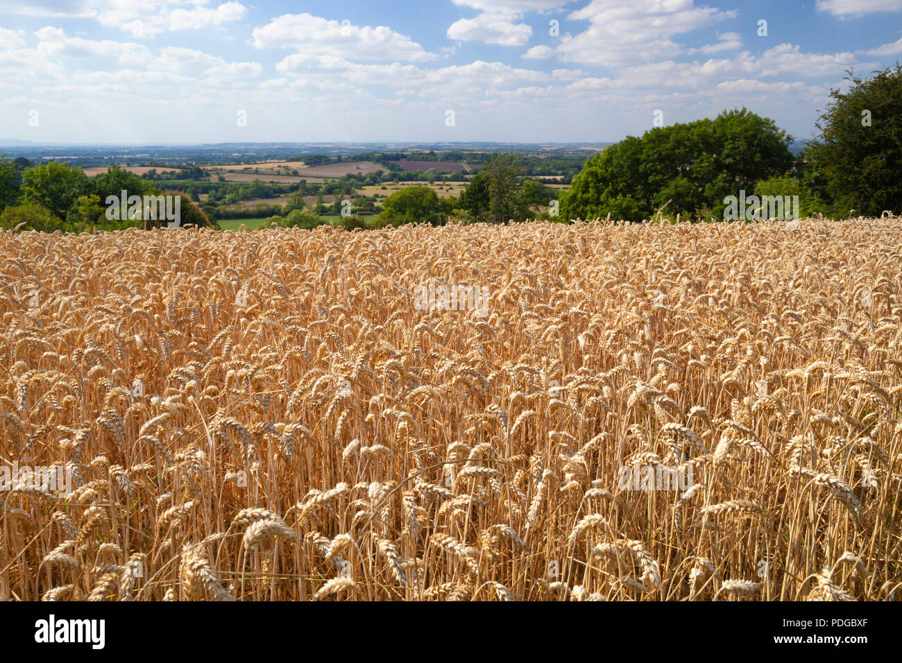 Ripe yellow-brown wheat field with countryside behind in summer, Mickleton, Cotswolds, Gloucestershire, England, United Kingdom, Europe - Stock Image