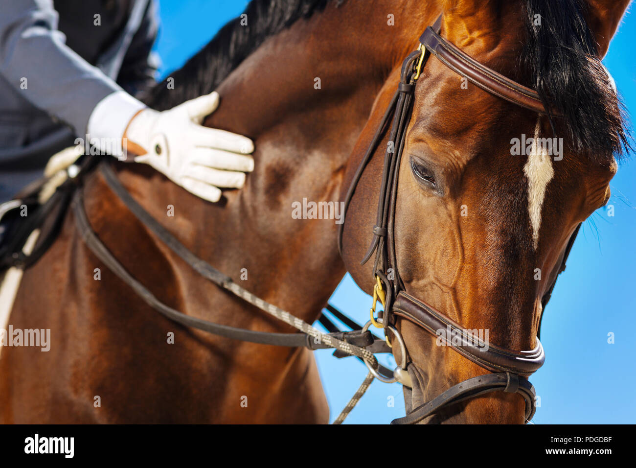 Race horse with white spot on his head standing submissively - Stock Image