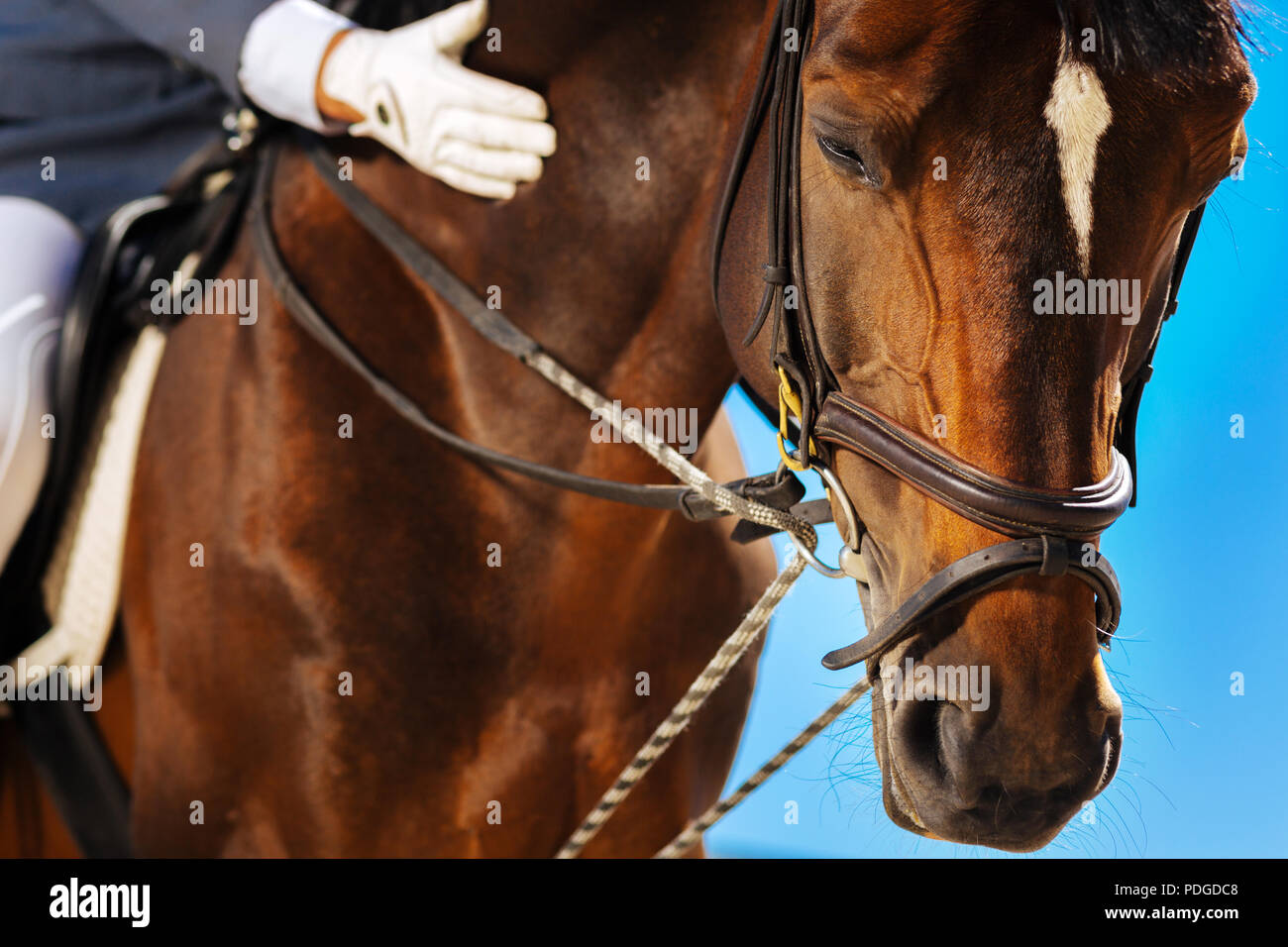 Dark-eyed brown race horse getting ready for annual horserace - Stock Image