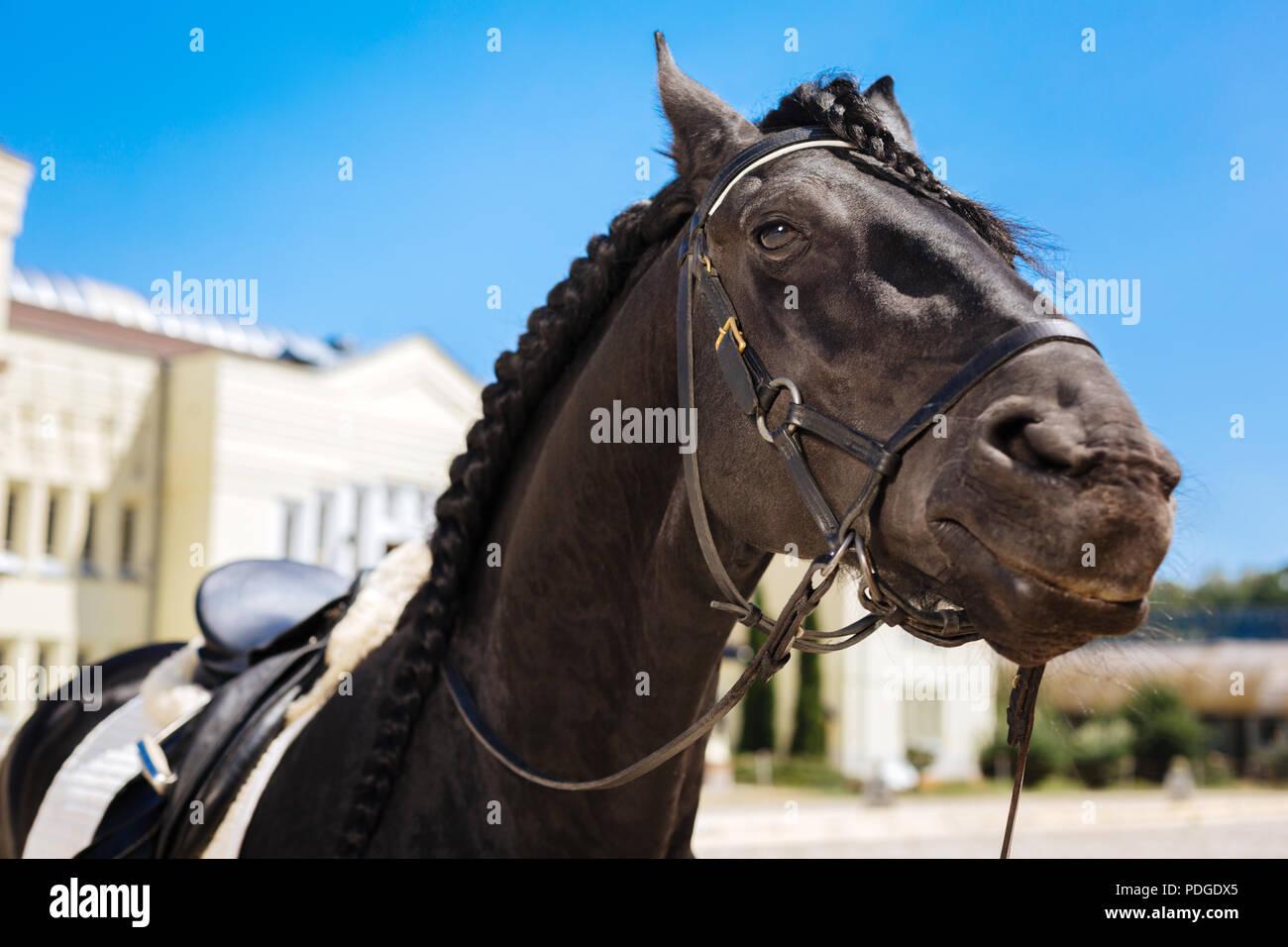 Black dark-eyed horse submissively standing on big race track - Stock Image