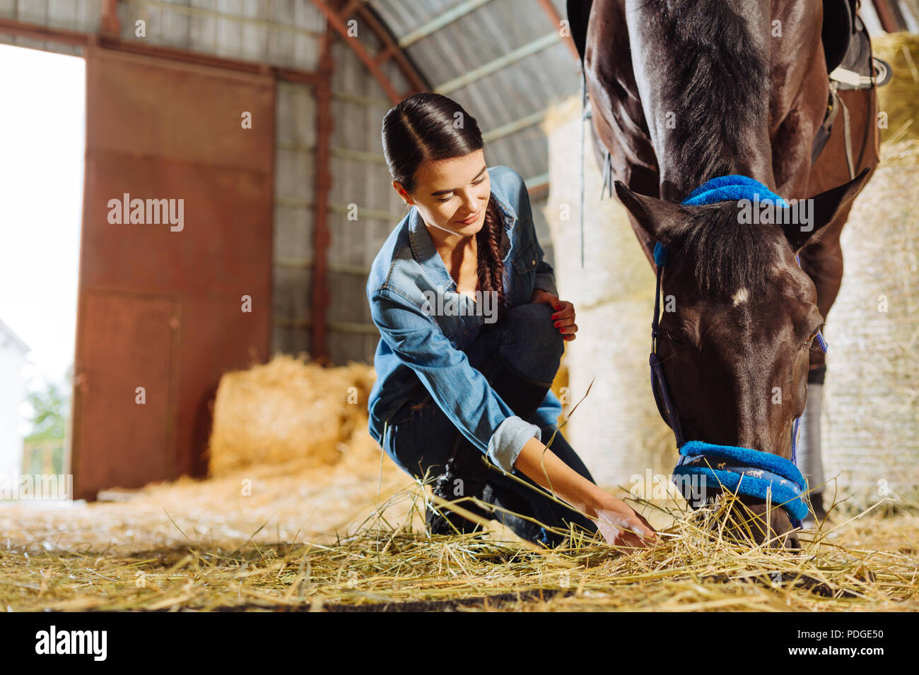 Dark-haired horsewoman giving some straw dark horse - Stock Image