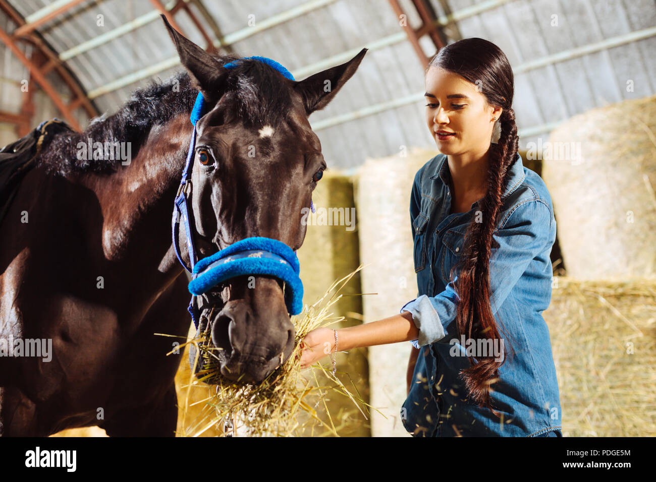 Beautiful dark racing horse eating some straw standing in stable - Stock Image