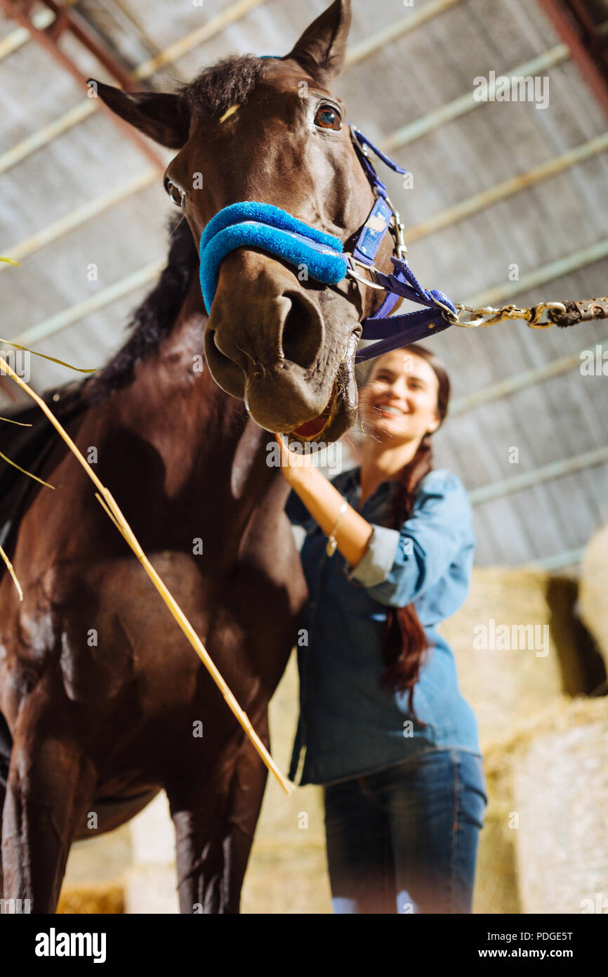 Dark-haired horse woman wearing denim shirt taking care of horse - Stock Image