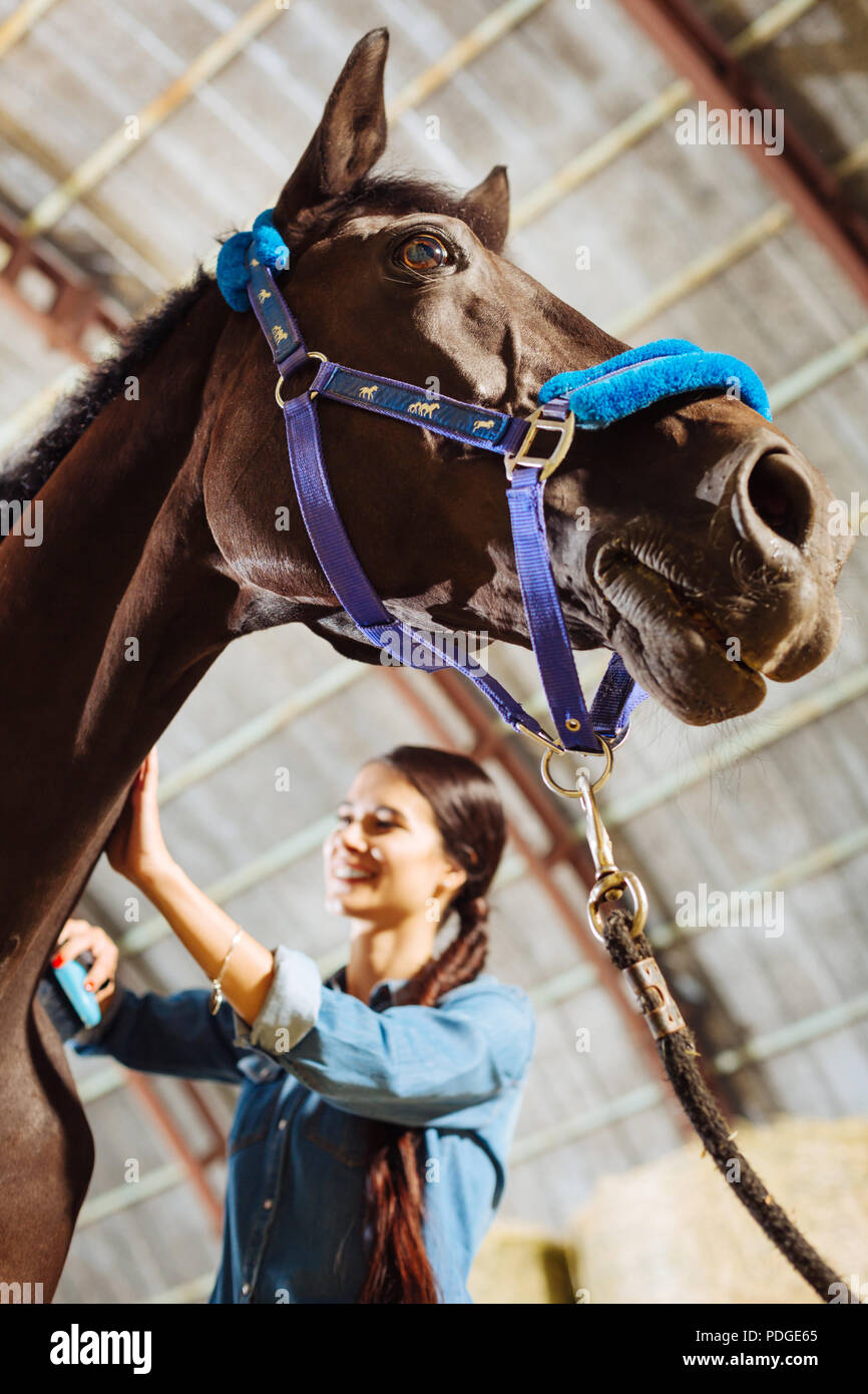 Cheerful woman smiling while touching dark racing horse - Stock Image