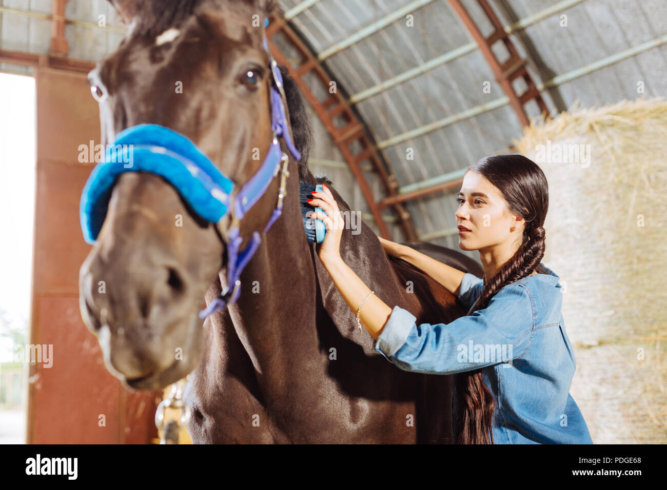 Beaming happy horsewoman cleaning beautiful dark horse - Stock Image