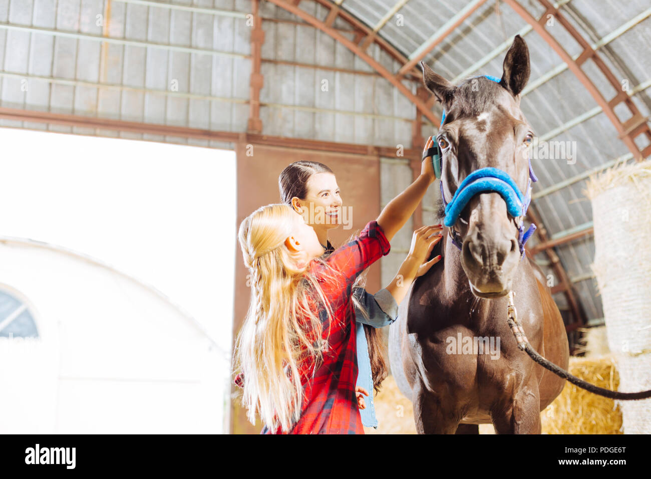 Stylish girl wearing riding boots cleaning racing horse - Stock Image