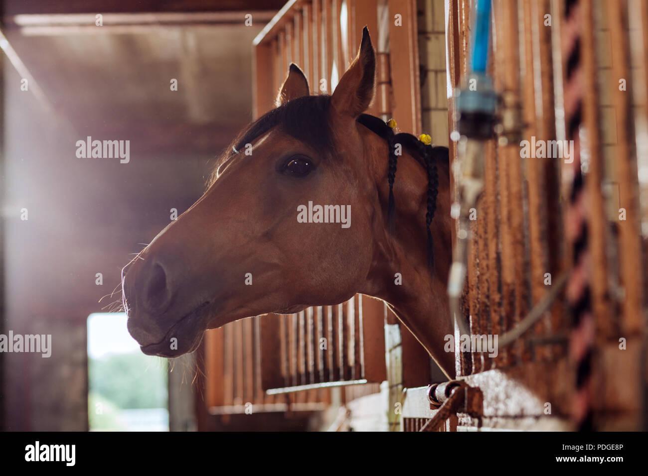 Beautiful brown racing horse standing in big spacious stable - Stock Image