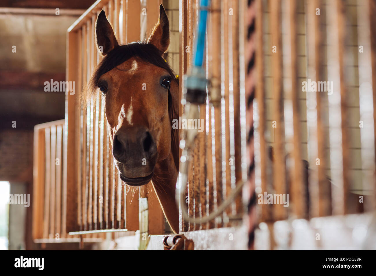 Gentle beautiful racing horse standing in famous spacious stable - Stock Image