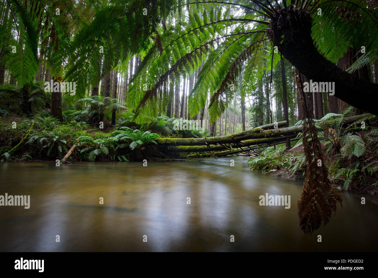 Californian Redwood Forest - Stock Image