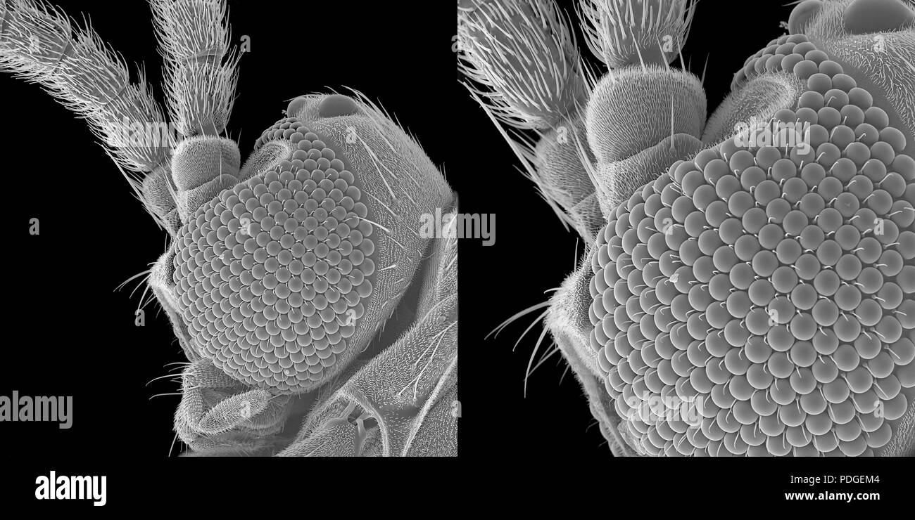 Tiny fungus gnat under scanning electron microscope Stock Photo