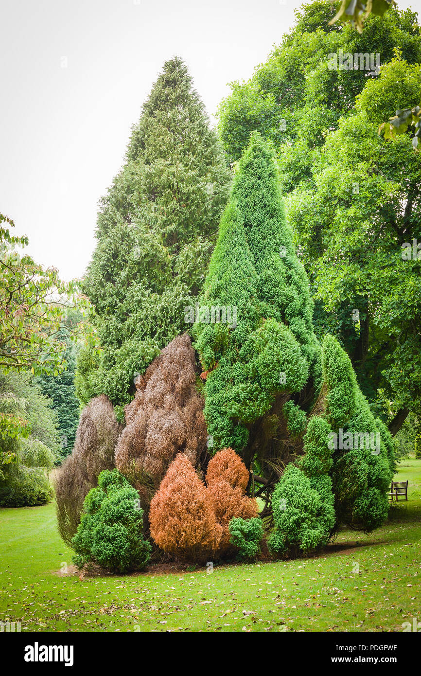 A small neat colony of conical conifers in an English parkland setting showing signs of distress or death possibly due to drought - Stock Image