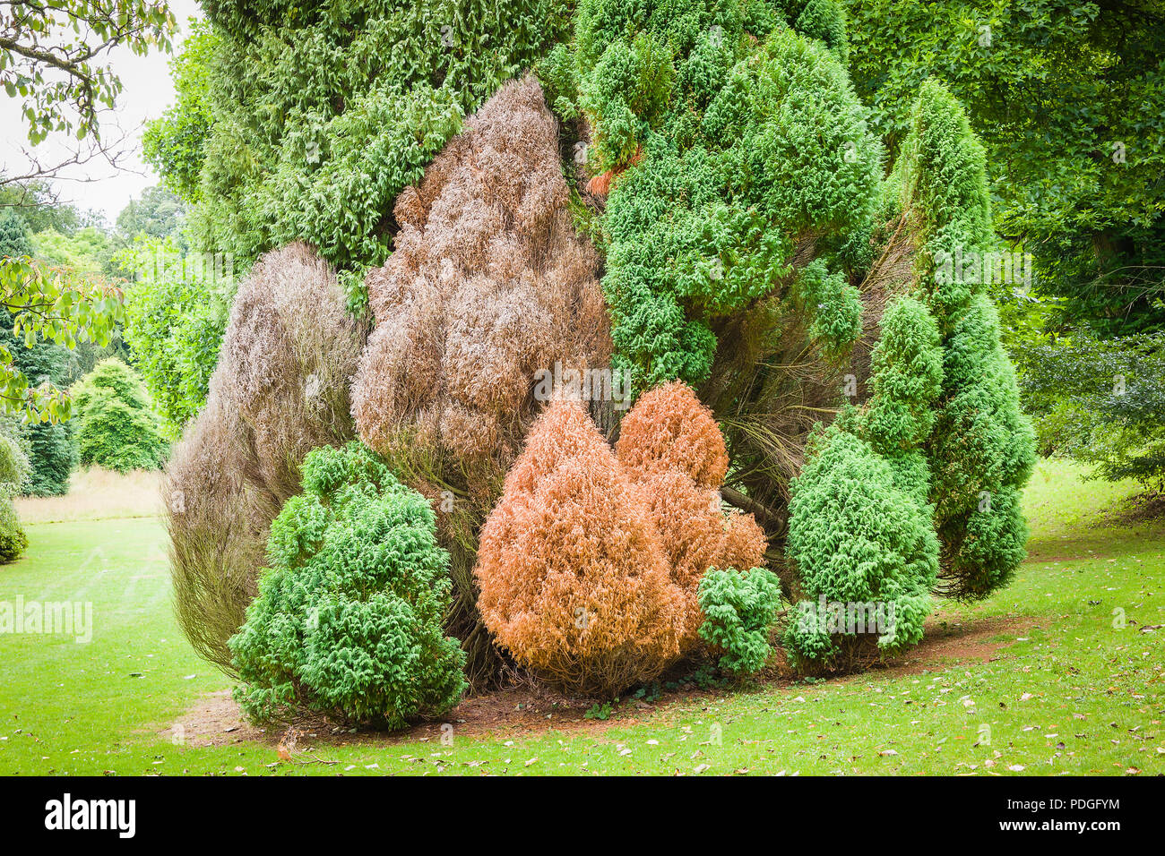A small neat colony of conical conifers in an English parkland setting showing signs of distress or death possibly due to drought Stock Photo